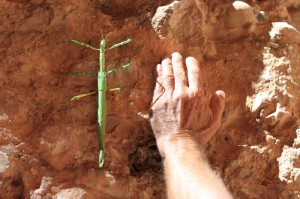 Aussie stick insect