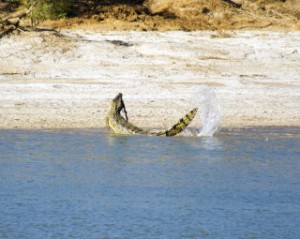 Saltwater Crocodile Eating 1
