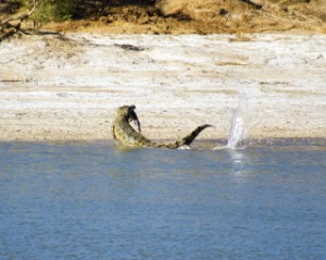 Saltwater Crocodile Eating 2