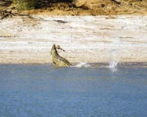 Saltwater Crocodile Eating 3