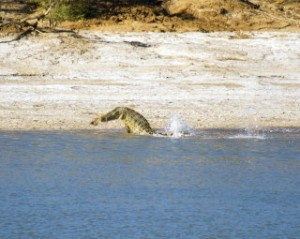 Saltwater Crocodile Eating 4
