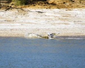 Saltwater Crocodile Eating 5
