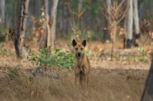Dingo of Garig Gunak Barlu