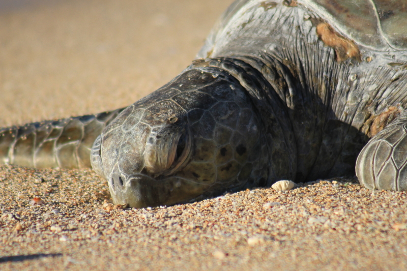 Sleeping female turtle