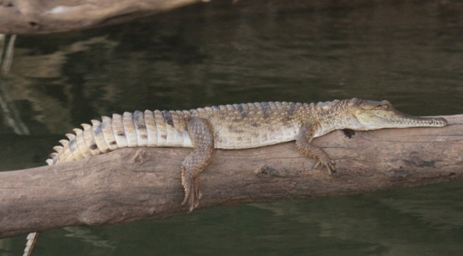Little freshwater croc sleeping on the log