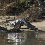 Big freshwater crocodile walking on the bank