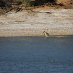 Saltwater croc eating kangaroo