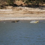 Crocodile altercation