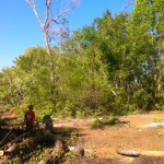 The mahogany trees cut down