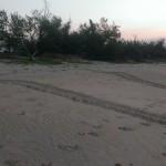 Turtle nesting track